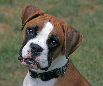 Boxer, Dog, Pet, Animal, Breed, Mammal, Cute, Puppy