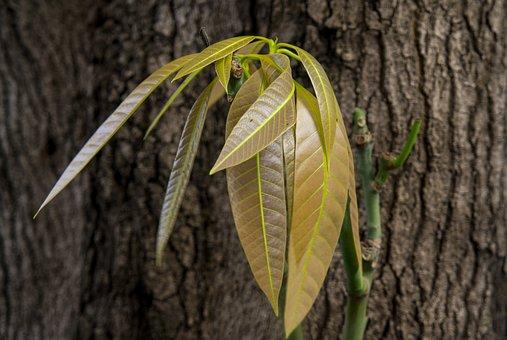 Bark, Mango Leaves, Natural