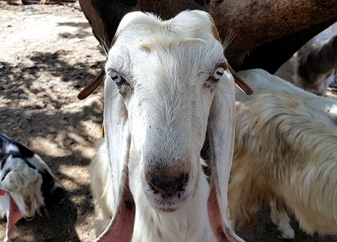 Goat, Animal, Face, Nature, Natural, White, Rural