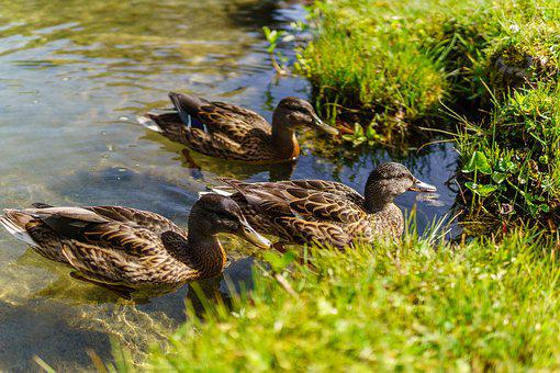 Duck, Animal, Lake, Bird, Wildlife, Nature, Outdoor