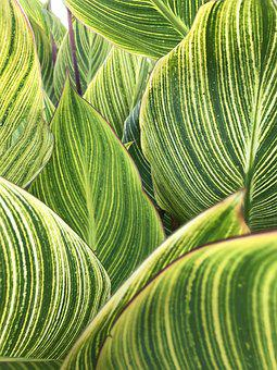 Leaves, Striped, Pattern, Texture, Nature, Plant