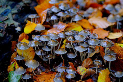 Comatus, Mushrooms, Mushroom Colony, Forest, Nature
