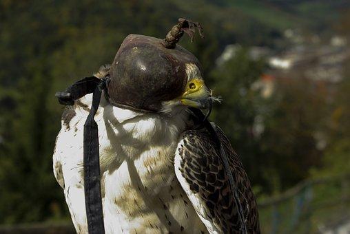 Raptor, Nature, Bird Of Prey, Falcon, Raptors, Close
