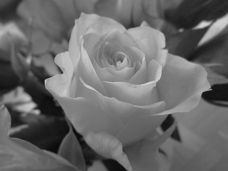 Rose, Black And White, Flower, Nature, Rose Bloom