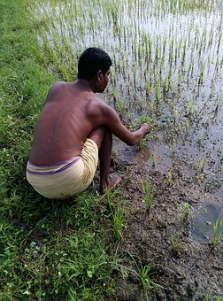 Farmer, Paddy Sowing, Monsoon Paddy, Rice, Agriculture