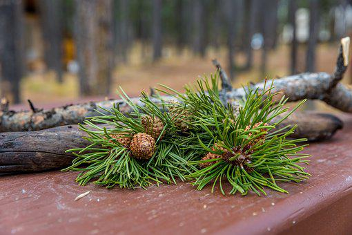 Forest, Pine, Pinecone, Season, Camping, Campsite