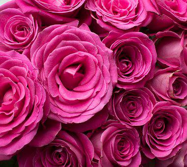 Pink Roses, Roses, Pink Flowers, Pink Petals, Pink