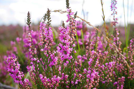 Flower, Heathers, Purple, Nature, Plant, Color, Flora