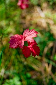 Leaves, Autumn, Red Leaf, Nature, Autumn Leaves