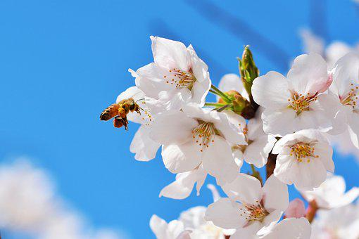 Republic Of Korea, Seoul, Anyangcheon, Cherry Blossom