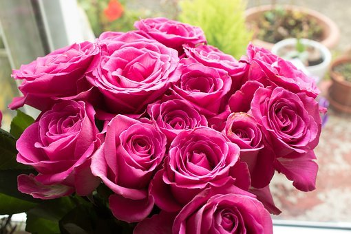 Pink Roses, Roses, Pink Flowers, Pink Petals, Pink
