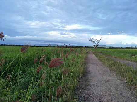Landscape, Nature, Rural, Agriculture, Grass, Ricefield