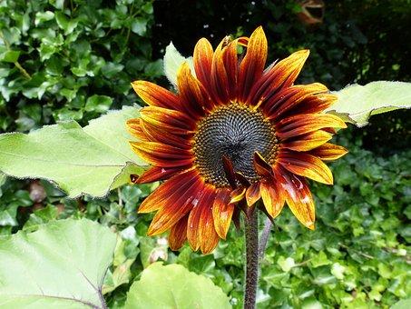 Sun Flower, Red, Yellow, Blossom, Bloom, Flower, Summer