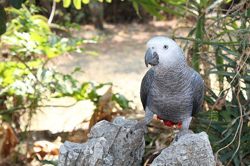 Bird, Parrot, African Grey, Exotic, Tropical, Pet, Rock