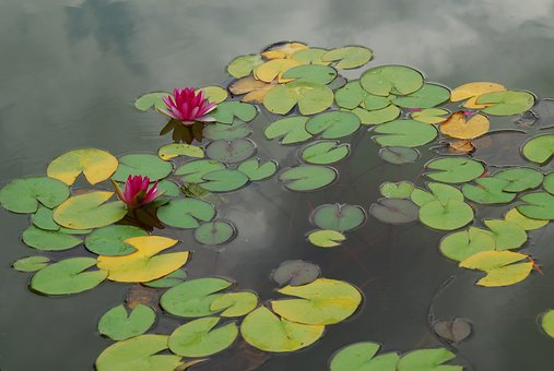 Water Lilies, Pond, Flowers, Plant, Lily, Summer, Lotus