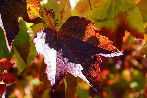 Vine, Wine Partner, Leaves, Autumn, Leaf, Red