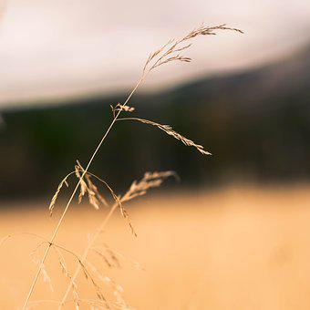 Straw, The Nature Of The, Grass, Withered, Reed