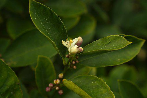 Lemon Tree Flower, Budding, Fruit, Agriculture, Summer