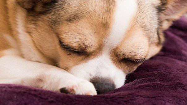 Chihuahua, Dog, Doggy, Dream, Sleeps, Animal, Pet