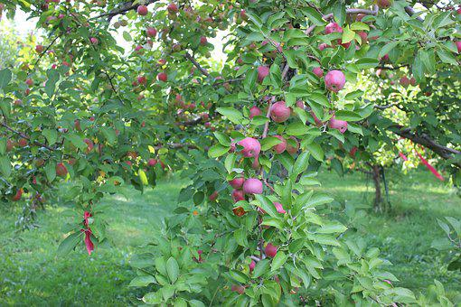 Apples, Fall, Autumn, Harvest, Fruit, Red, Season