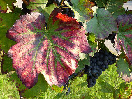 Wine Leaf, Red, Stained Discolored, Autumn