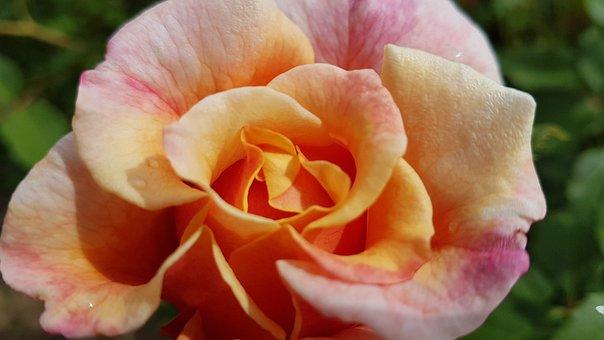 Rose, Rose Bloom, Pink, Romantic, Beautiful