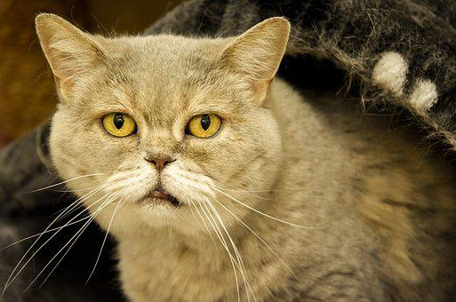 Old Cat, British Shorthair, Animal Shelter