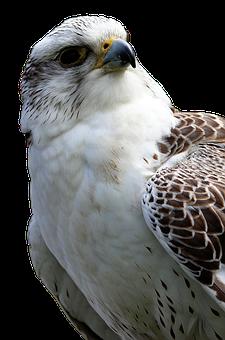 Bird Of Prey, Buzzard, Bird, Raptor, Common Buzzard