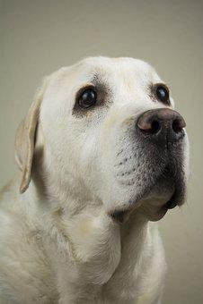 Dog, Labrador, Retriever, Young, Canine, Family