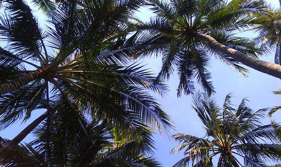 Palm Trees, Sky, Nature, Palm, Coconut, Tropical, Tree