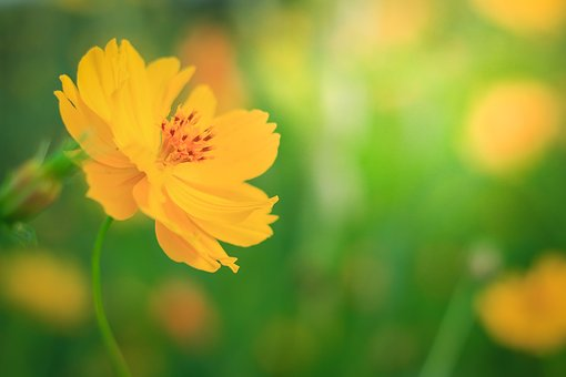Cosmos Flowers, Yellow Flowers, Nature