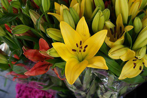Asiatic Lily, Buds, Blossom, Flora, Decoration