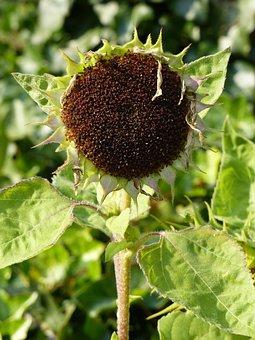 Faded, Autumn, Sun Flower, Sad, Dry, Seeds, Late Summer