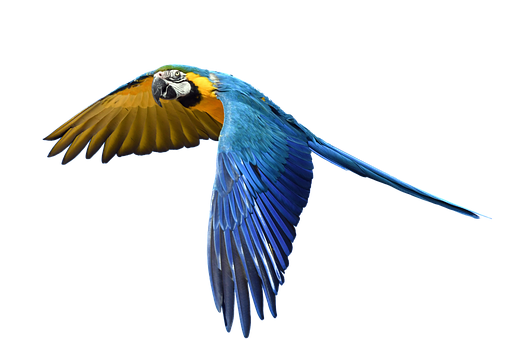 Parrot, Flight, Isolated, Colorful, Fly