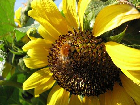 Sun Flower Hummel, Bee, Sun Flower, Summer, Hummel