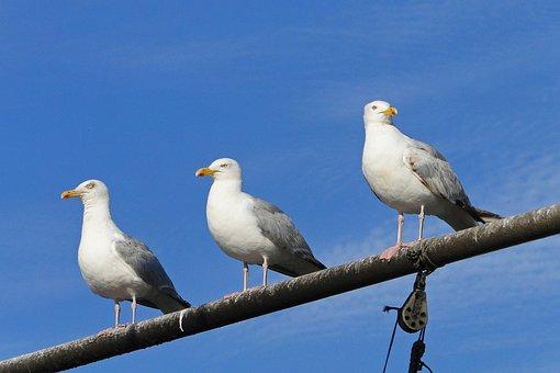 Gulls, Sea, Bird, Seagull, Animal, Ornithology, Nature
