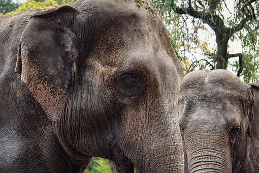 Elephant, Animal, Pachyderm, Two, Portrait, Together