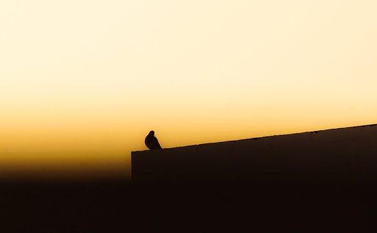 Birds In Evenning, Pigeon, Nature