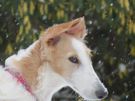 Borzoi, Dog, Animal, Pet, Breed, Russian, Hound