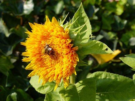 Sunflower, Yellow, Summer, Blossom, Bloom