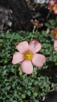 Flower, Wildflower, Oxalis Hirsuta, Spring, Floral