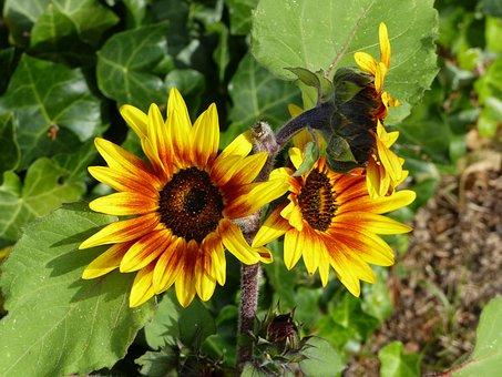 Sunflower, Red, Yellow, Summer, Blossom, Bloom