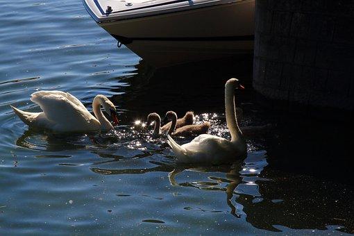 Swan, Nature, Water Bird, Beautiful Swans, Baby Swan