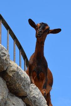 Goat, Climb, Livestock, Animal, Wall, Rock, Sky, Blue