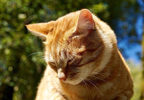 Cat, Animal, Pet, Domestic Cat, Cat's Eyes, Orange
