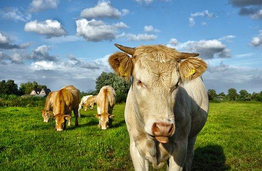 Animal, Mammal, Cow, Cattle, Livestock, Herd, Ear Tag
