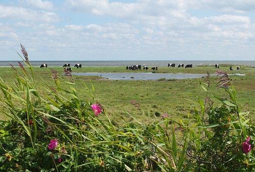 Sylt, Cow, North Sea
