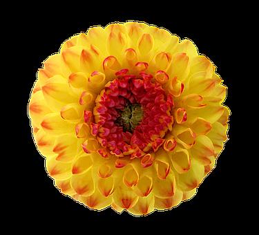 Dahlia, Blossom, Bloom, Yellow, Red, Orange