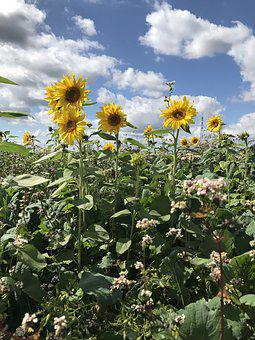 Sun Flower, Sunflower, Yellow, Summer, Blossom, Bloom