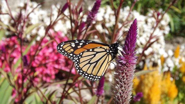 Flora, Flowers, Monarch Butterfly, Autumn Weather